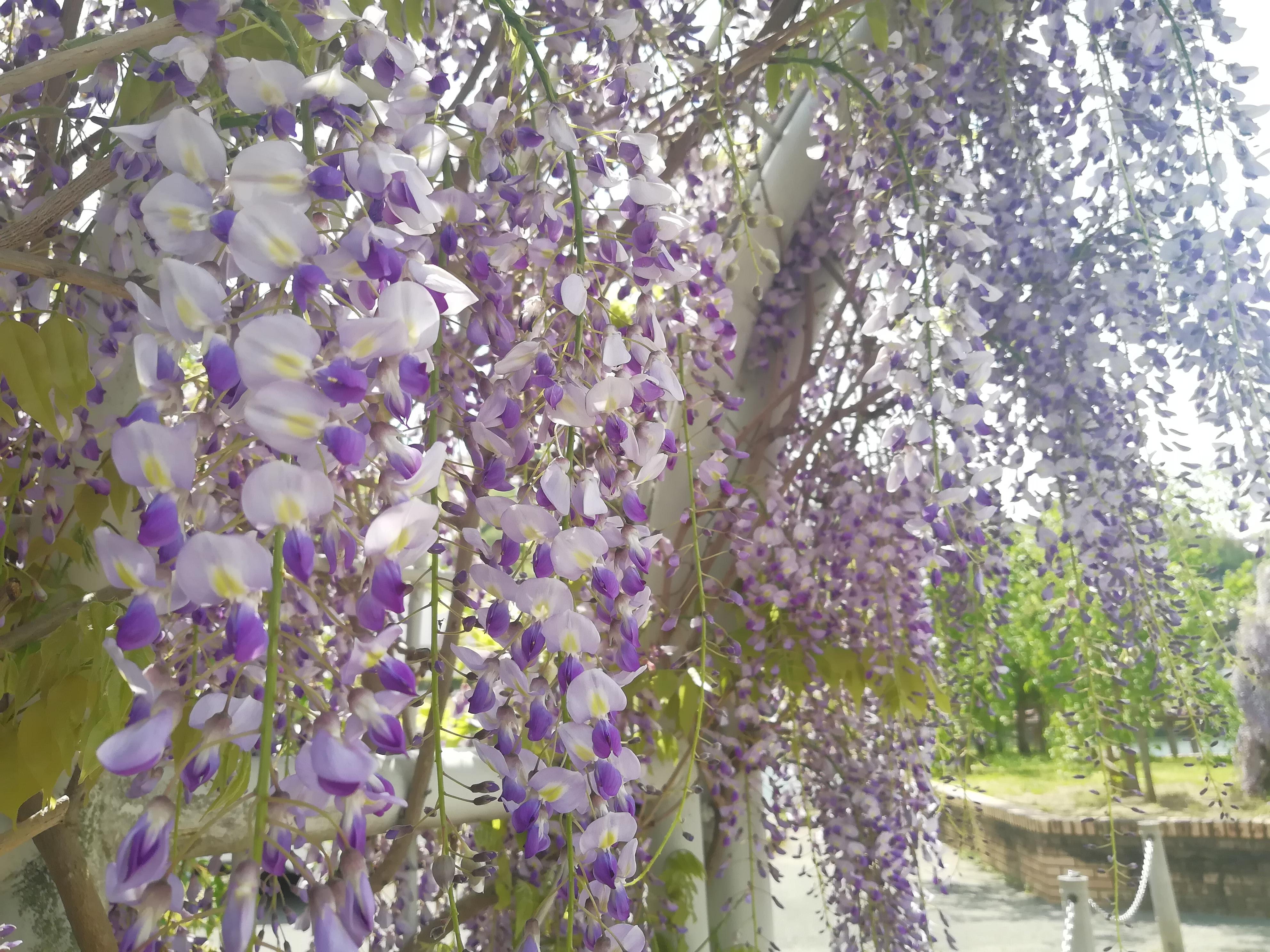 藤の花が見ごろでした✨